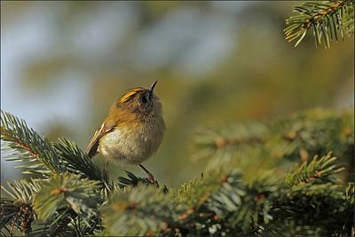 Fuglekonge - Goldcrest