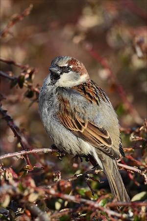 Gråspurv - House Sparrow