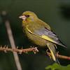 Grønnfink