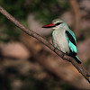 <center><b> Woodland Kingfisher</b></center>