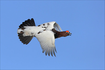 Lirype - Willow Grouse