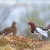 Lirype  /  Willow Grouse