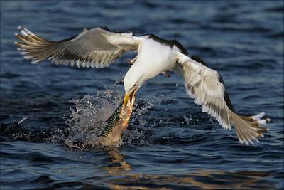 Måker - Seagulls