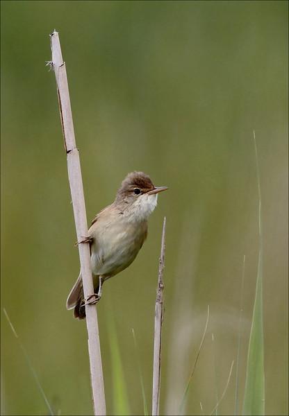 <center>Meget aktiv krabat, der den hopper fra sivrør til sivrør, skvaldrer i ett sett  med sin sang...</center>