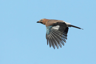 Nøtteskrike - Eurasian Jay