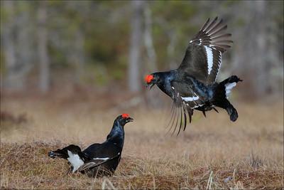 Orrhaneleik - Black Grouse lek