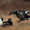 <center>Black Grouse in fight...</center>