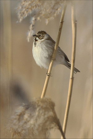 Sivspurv - Reed Bunting