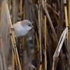 <center>Bearded Reedling / Skjeggmeis - Female</center><br>Hunnen er litt kjedelig i fargene sammenlignet med hannen men allikevel en vakker fugl..