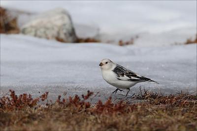 Snøspurv - Snow Bunting