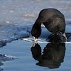 Sothøne - Eurasian Coot