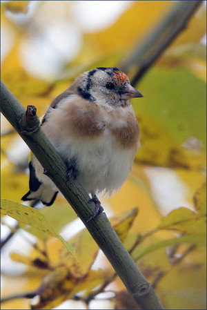 Stilits  -  Goldfinch