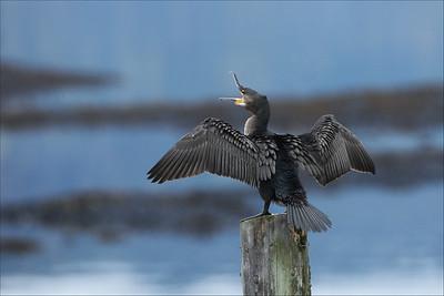 Storskarv  -  Great Cormorant