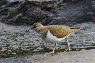 Strandsnipe - Common Sandpiper