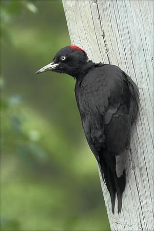 Svartspett - Black Woodpecker