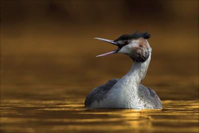 Toppdykker - Great crested grebe