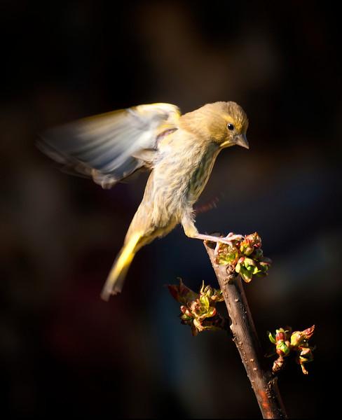 Grønnfink (ung)