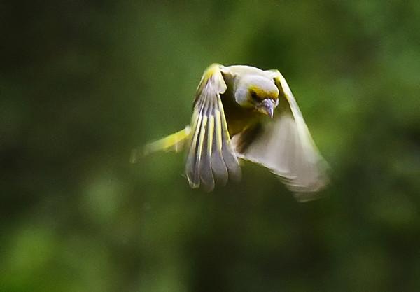 Grønnfink i flukt