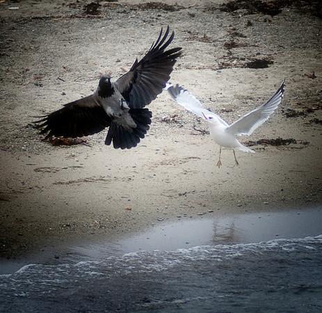 Kråke i kamp med fiskemåke