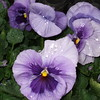 Cheryl's Pansies on Long Ridge Road