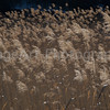Grasses bblowing in the wind Fuji Five Lakes, Yamanashi Prefecture, Japan
