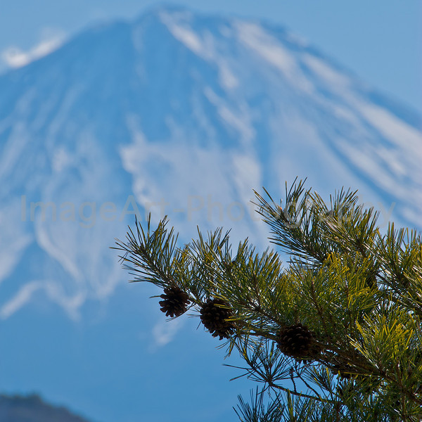Pine tree branches in front of Mount Fuji Fuji Five Lakes, Yamanashi Prefecture, Japan