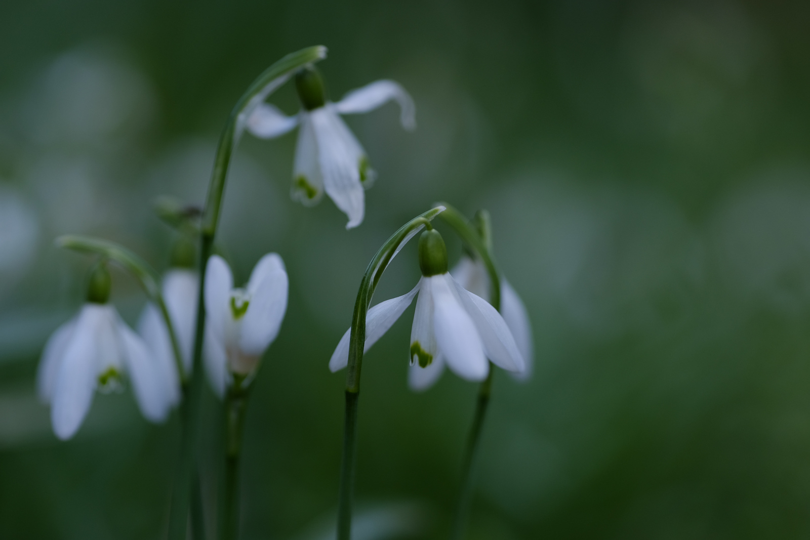 fujifilm xf90mm snowdrops flowers nature photography