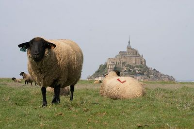 Mont St Michel and sheep 6