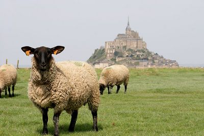 Mont St Michel and sheep 4