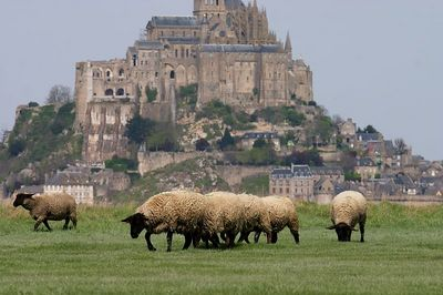Mont St Michel and sheep 2