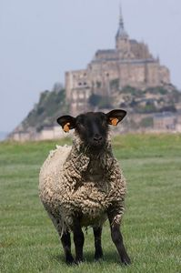 Mont St Michel and sheep 5