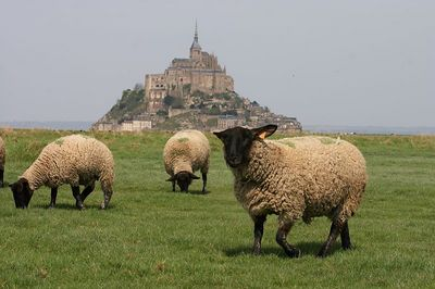Mont St Michel and sheep 3