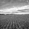 Cotton Rows into the Sky (BW)