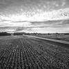 Cotton Fields and Cotton Skies (BW)