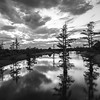 Greenwood Cypress Trees (BW)