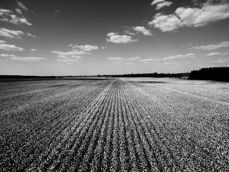 Cotton and Clouds (BW)