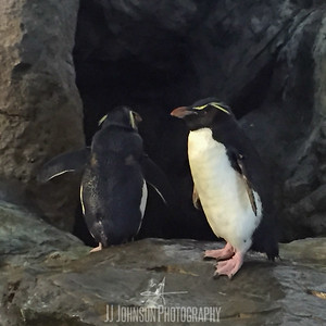 Penguins at the St Louis Zoo