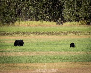 Bears from Far Away
