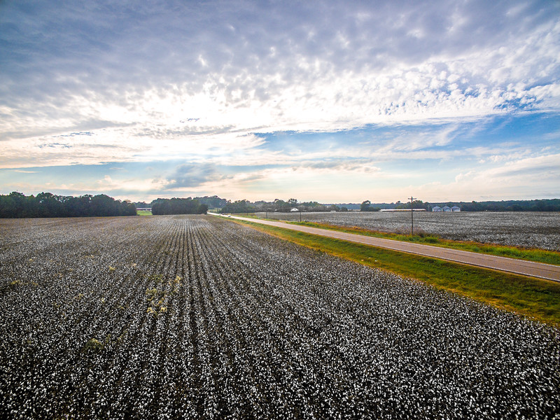 Cotton Fields and Cotton Skies