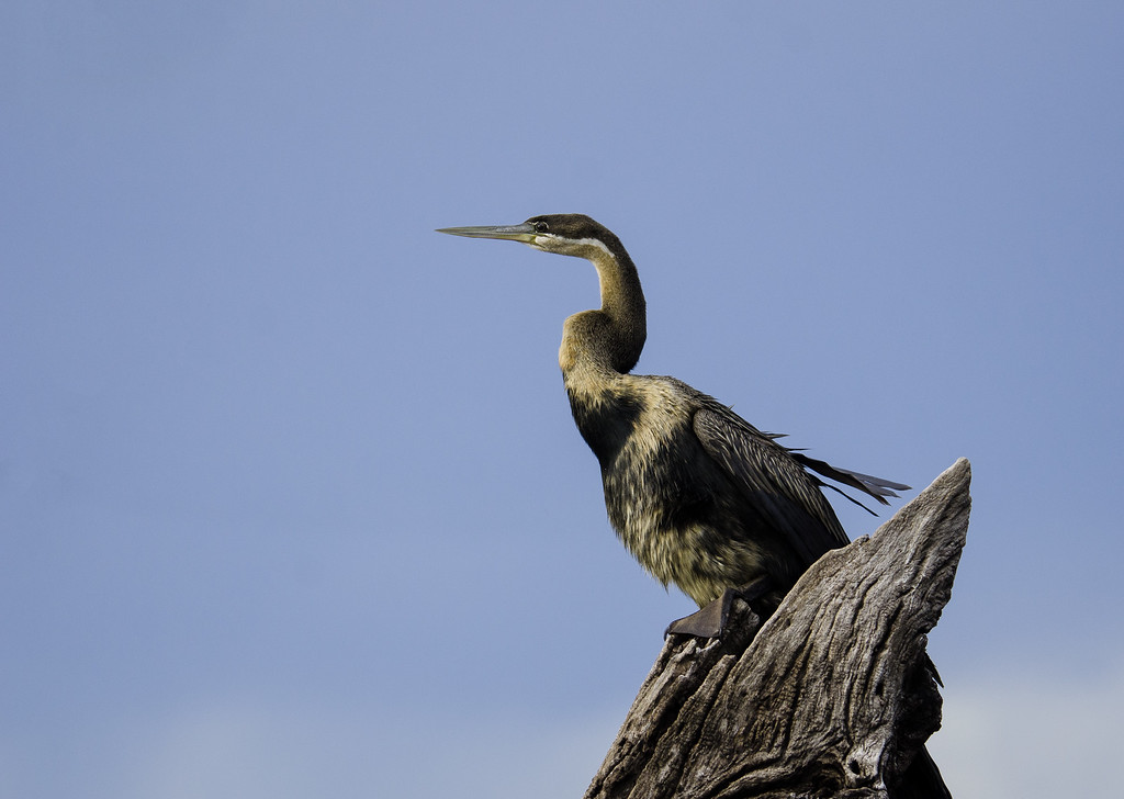 The African Darter