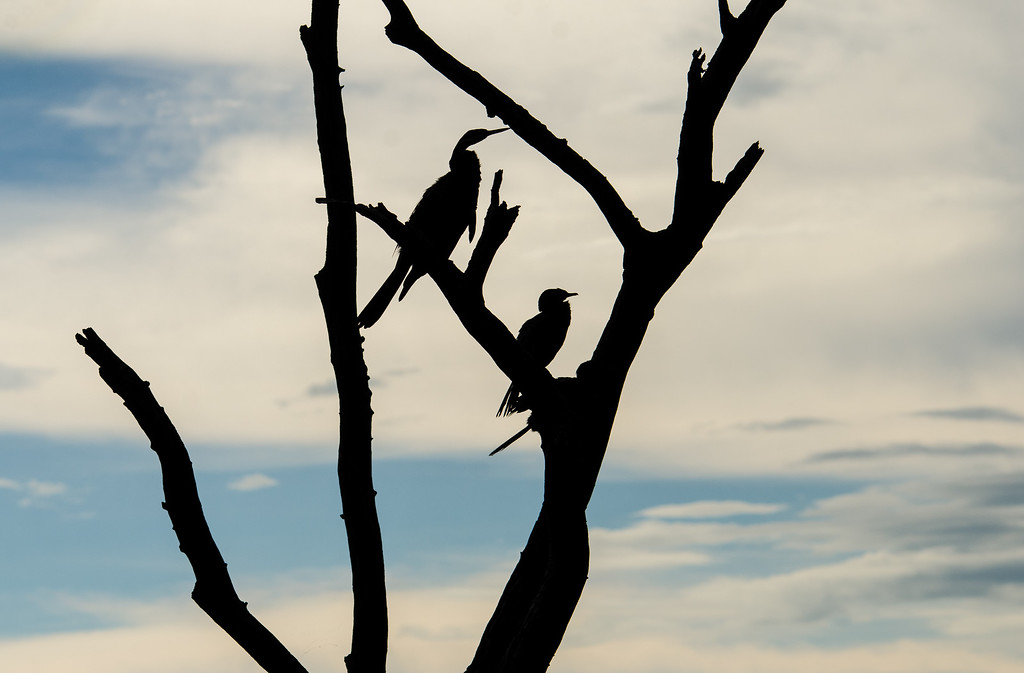 African Darter Silhouettes