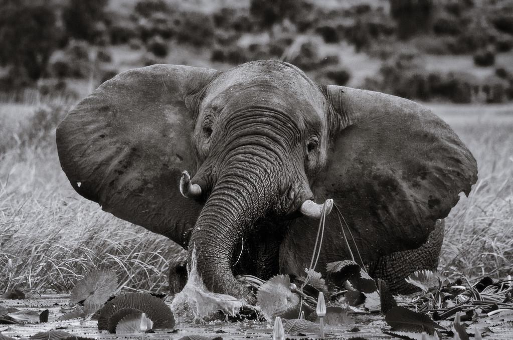 The happy elephant - BW
