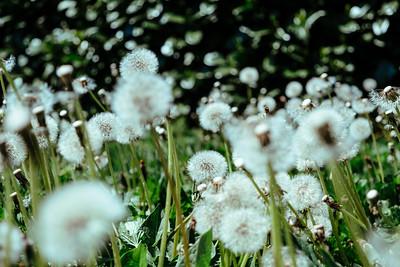 Dandelion field in the south of Germany
