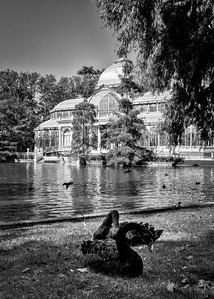 Black swans in front of Palacio de Cristal