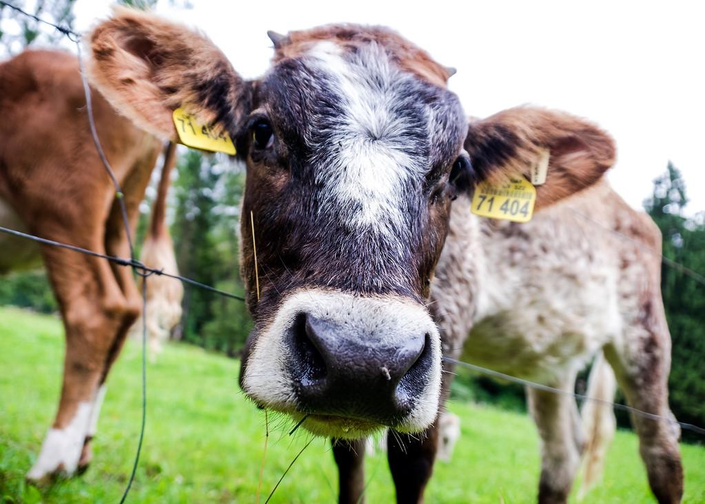 Cows of Garmisch Partenkirchen