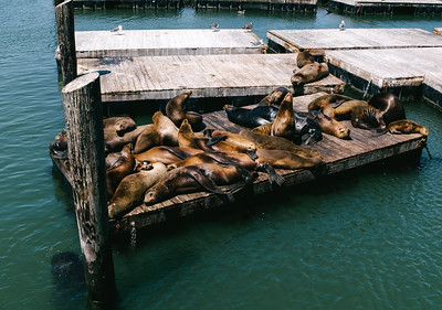 The famous sun bathing sea lions at pier 39