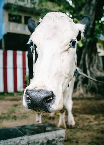 Holy Cow! At the Shri Ponnambalawaneswaram Kovil temple in Colombo Sri Lanka.
