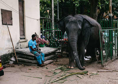The sad Gangaramaya Temple elephant in Colombo