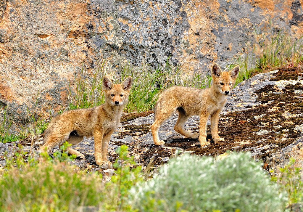 Siblings - young coyotes outside their den