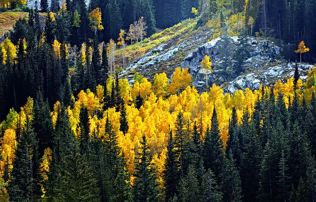 ASPENS IN THE WASATCH